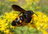 Scolia nobilitata; Scoliid Wasp species
