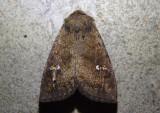 10627 - Tricholita signata; Signate Quaker
