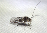 Metylophorus novaescotiae; Common Barklouse species; male