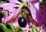 Xylocopa virginica; Eastern Carpenter Bee