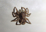 Sitticus fasciger; Jumping Spider species; exotic