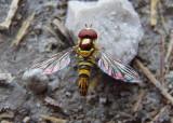 Allograpta obliqua; Common Oblique Syrphid Fly; male