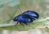 Altica Flea Beetle species