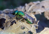 Augochlora pura; Pure Green Augochlora