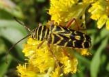 Megacyllene robiniae; Locust Borer