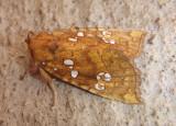 9495 - Papaipema furcata; Ash Tip Borer