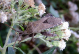 Piezogaster Leaf-footed Bug species