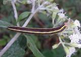 10304 - Trichordestra legitima; Striped Garden Caterpillar