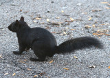 Eastern Gray Squirrel; black variant