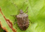 Halyomorpha halys; Brown Marmorated Stink Bug; exotic