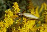 Oecanthus forbesi/nigricornis complex; Common Tree Cricket species; female