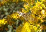 Oecanthus forbesi/nigricornis complex; Common Tree Cricket species; male