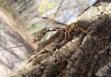 Megarhyssa Ichneumon Wasp species