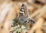 Pyrgus communis; Common Checkered Skipper