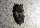 Dermestes marmoratus; Common Carrion Beetle