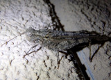 Trimerotropis gracilis; Thomas' Slender Grasshopper; male