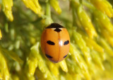 Coccinella monticola; Mountain Lady Beetle