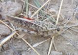 Xanthippus corallipes affrictus; Red-shanked Grasshopper; female
