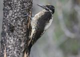 American Three-toed Woodpecker; male