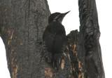 Black-backed Woodpecker; juvenile
