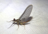 Drunella coloradensis; Spiny Crawler Mayfly species; male