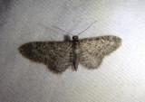 7449-7605 - Eupithecia Pug Moth species