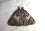4703 - Gesneria centuriella; Crambid Snout Moth species