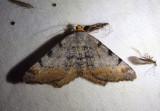 6338 - Macaria adonis; Geometrid Moth species