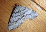 6346 - Macaria unipunctaria; Geometrid Moth species