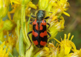 Trichodes ornatus; Ornate Checkered Beetle