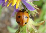 Coccinella transversoguttata; Transverse Lady Beetle