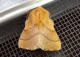 7698 - Malacosoma disstria; Forest Tent Caterpillar Moth