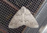 7006 - Enypia griseata; Mountain Girdle