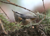 Red-breasted Nuthatch; immature