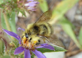 Bombus flavifrons; Yellow-fronted Bumble Bee; male