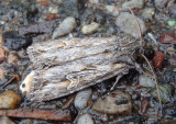 9325-9385 - Apamea Noctuid Moth species