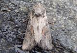 10394 - Lacinipolia vicina; Dart Moth species