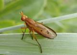 Tetanocera plebeja; Marsh Fly species