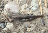 Trimerotropis verruculata suffusa; Crackling Forest Grasshopper; female
