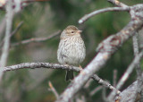 Brewer's Sparrow; immature