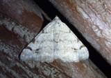 6374.1 - Digrammia ubiquitata; Geometrid Moth species