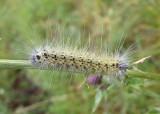 8140 - Hyphantria cunea; Fall Webworm