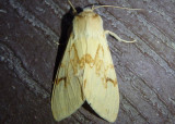 8214 - Lophocampa maculata; Spotted Tussock Moth