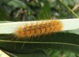 8131 - Estigmene acrea; Salt Marsh caterpillar