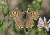 Lycaena helloides; Purplish Copper; female