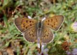 Lycaena helloides; Purplish Copper; male