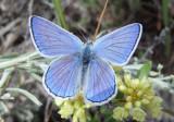 Lycaena heteronea; Blue Copper; male