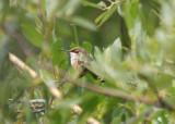 Rufous Hummingbird; immature