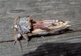 8010 - Schizura concinna; Red-humped Caterpillar Moth