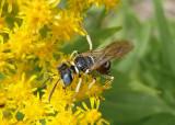 Philanthus Bee Wolf species